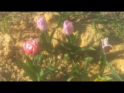 выращивание тюльпанов на среднем Урале  (1)