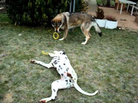chien-loup tchécoslovaque vs dalmatien - action2 - YouTube