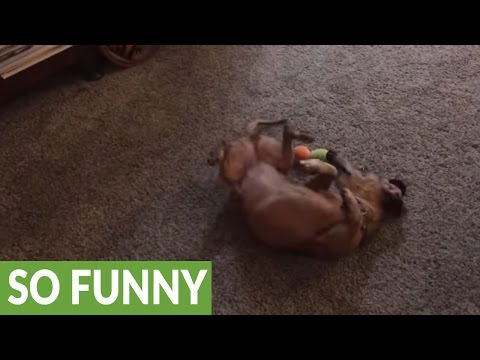 Dachshund discovers catnip, becomes absolutely obsessed