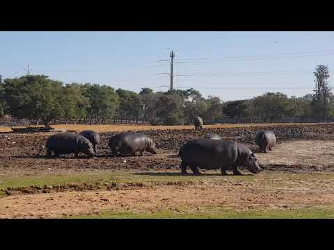 Hippos and Southern white rhinoceroses