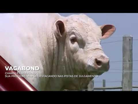 Touro Vagabond - Charolês indicado para IATF - RENASCER BIOTECNOLOGIA VIDEO
