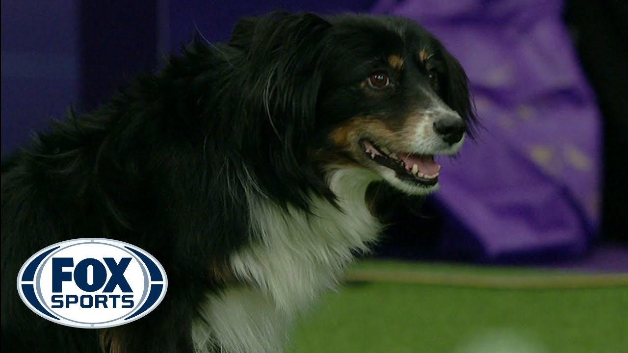 Check out the best of the 2019 WKC Masters Agility Championship | FOX SPORTS