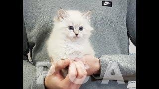 Сибирский котенок блю-пойнт Выставка кошек PCA on-line