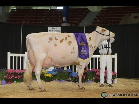 NY Spring Red Holstein Show 2017