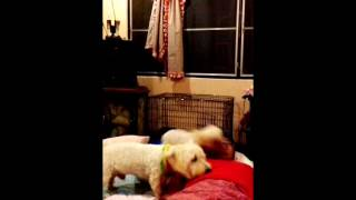The Sleep Routine Of My Toy Poodle And Westie