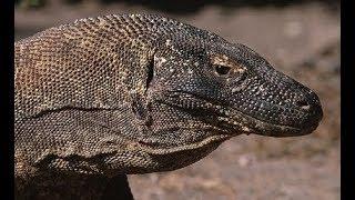 Комодский варан - Komodo Dragon (Энциклопедия животных)