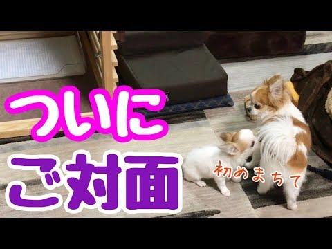 【チワワお迎えシリーズ】Vol.2 子犬が初めて我が家にやってきた【chihuahua】