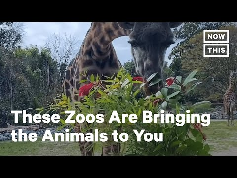 Zoos Live-Stream Exhibits To Entertain People During COVID-19   NowThis