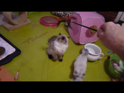 Hydrangea's Cute 6 Week Old Himalayan Kittens Playing