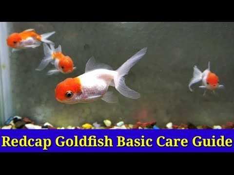 Red Cap Goldfish Basic Care Guide