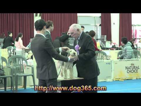 ACW / UAKC International Dog Show- Lakeland Terrier