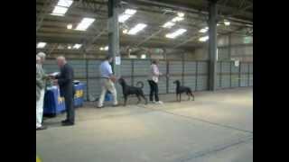 National Working & Pastoral Breeds Ch Show 2012 Dobermann Best Of Breed & Best Puppy