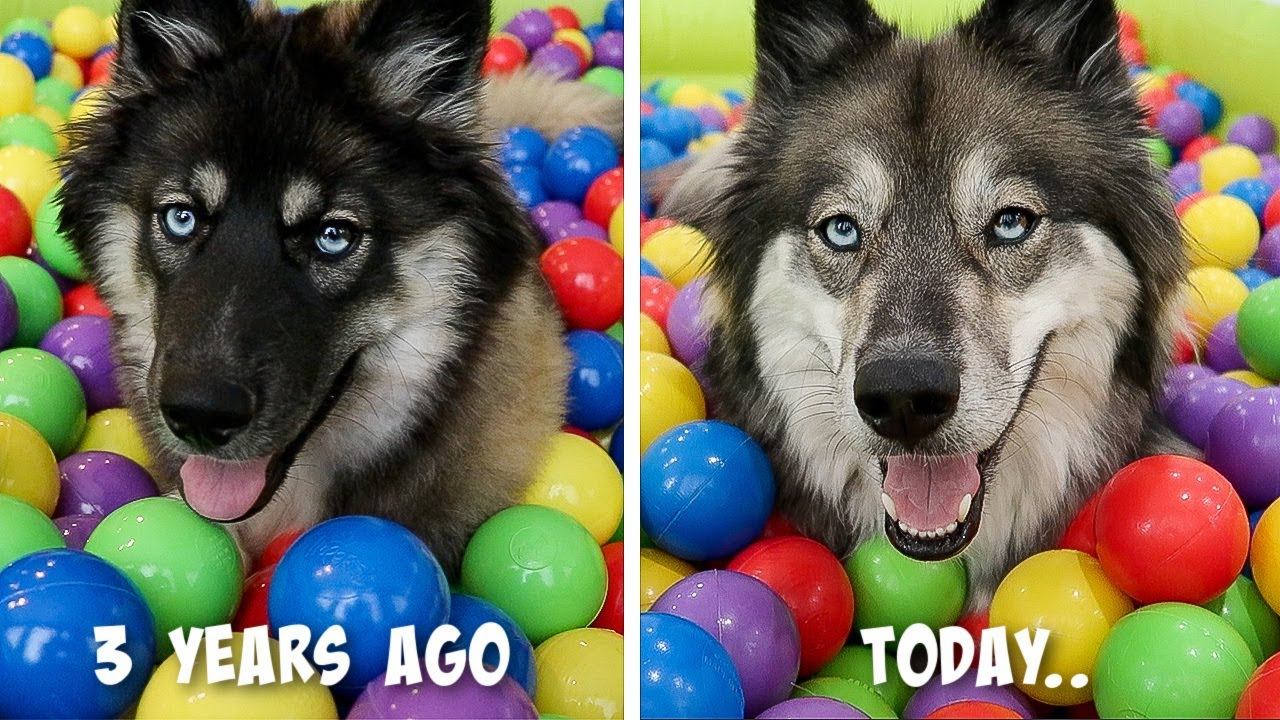 My Husky Reacts to her Ball Pit Pool 3 Years Later..