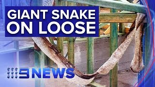 Residents warned about 'hungry' boa constrictor | Nine News Australia