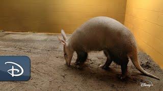 'Magic of Disney's Animal Kingdom' - Baby Love Follows for Aardvark Couple