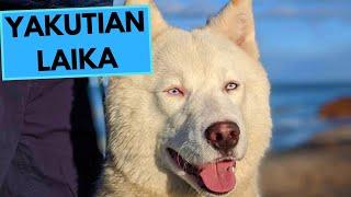 Yakutian Laika Dog Breed  Facts and Information