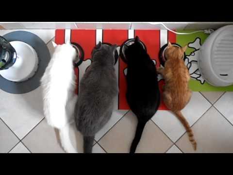 Mokré čierne mačička jesť