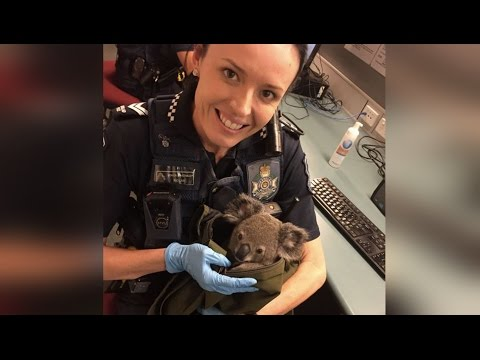 Police Find Baby Koala in Backpack During Arrest