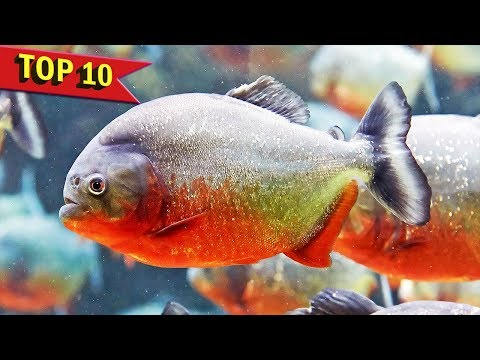 Top 10 Aggressive Aquarium Fish