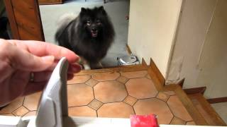 "Keeshond Dog (""clancy"") Opens Locked Child / Pet Gate"