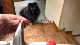"Keeshond Dog (""clancy"") Opens Locked Child / Pet Gate"