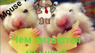Чем питаются декоративные мышки?|MOUSE TV