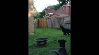 Charly Playing Catch: Bouvier/goldendoodle Mix Dog For Adoption