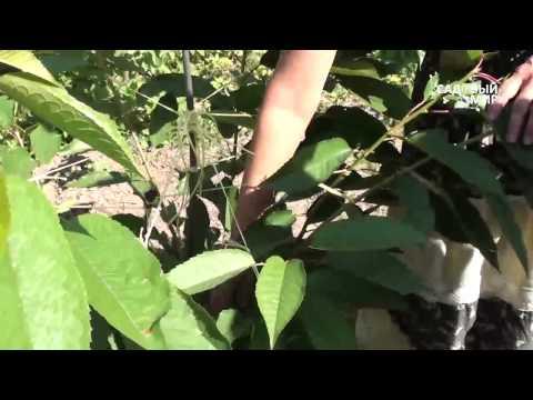 Как вырастить черешню  Формировка по типу Испанский куст. Часть 1