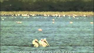 Fleet of pelicans wading through a water body, all in line