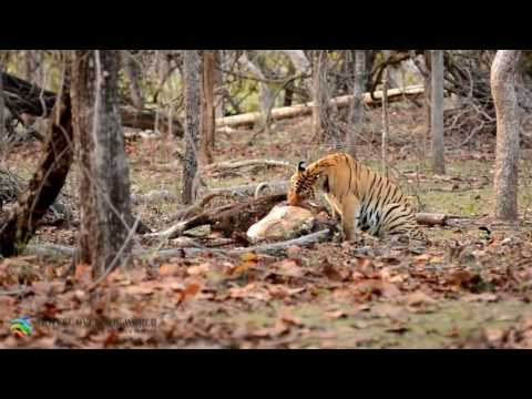Tiger with kill at Pench National Park