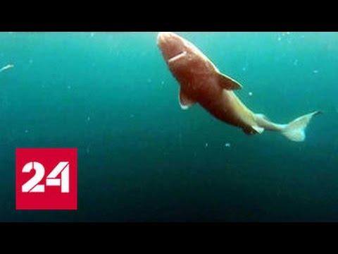 Ученые из Дании поймали 400-летнюю акулу