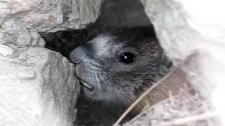 Pissed off marmot