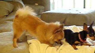 Pomeranian & Chihuahua Playing