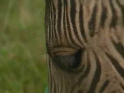 Half zebra, half horse - it's a zorse - YouTube