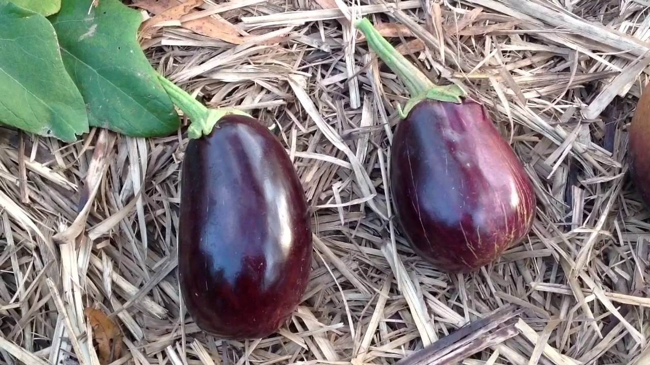 When To Harvest Your Eggplants Youtube