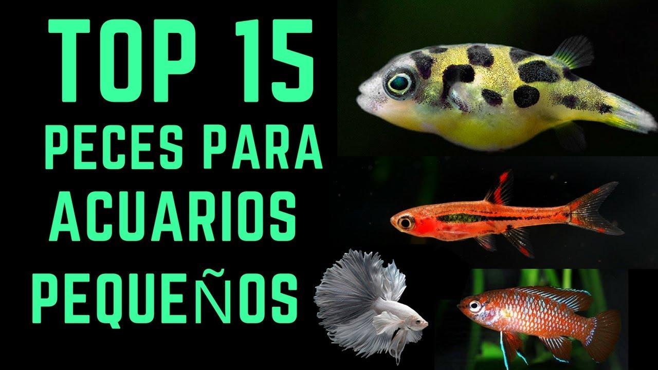Top 15 peces para acuarios peque os 10l 40l youtube for Peces marinos para acuarios pequenos