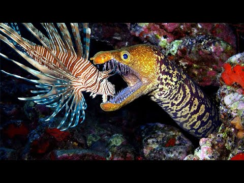 Teaching Eels To Eat Invasive Lionfish