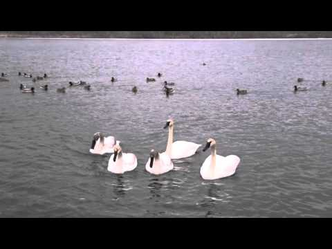 Aggressive Mute Swan With Trumpeter Swan Family