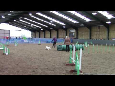 Magnus miniature bull terrier agility jumping round