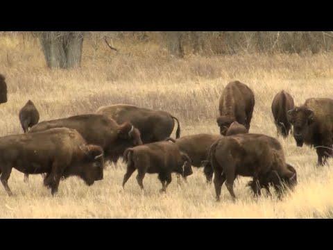 Blackfeet Nation works to restore bison on the Rocky