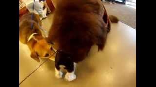 Cute! ~baxter~mini-schnauzer Playing With Big Dog @ Petsmart.  Gopro.