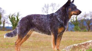 Порода Собак №3 - Австралийская пастушья собака