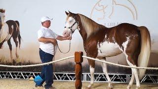 Primeiro Leilão Haras Che Renda Da Raça Paint Horse