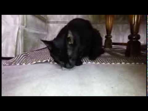 katze jagt und frisst maus komplett im wohnzimmer youtube. Black Bedroom Furniture Sets. Home Design Ideas