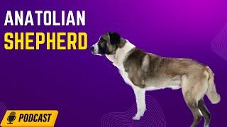 Anatolian Shepherd  Natalie Thurman from NW Guardians   HOD #11