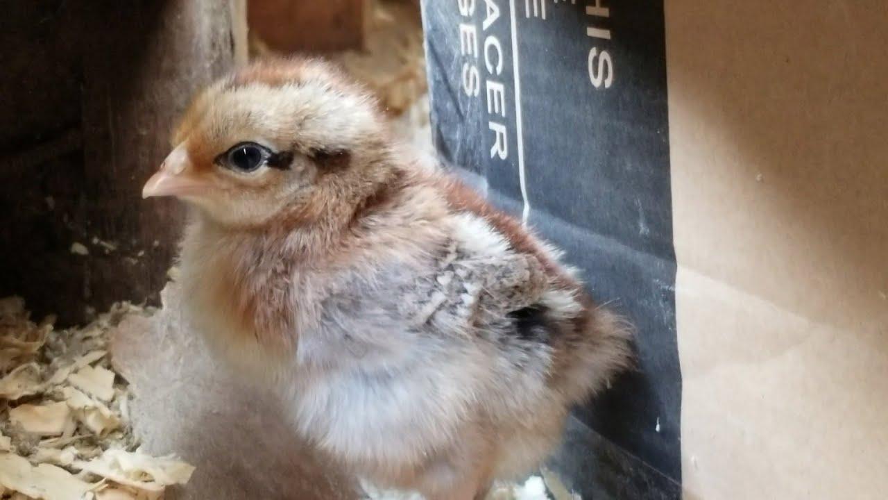 #sharts   raising chicks