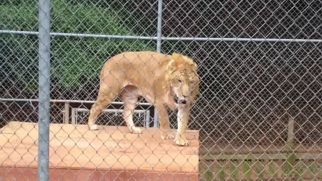 Liger At The Wild Animal Safari Park In Pine Mountain ...