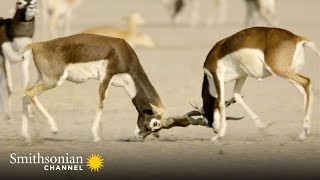 A Young Blackbuck Hopes to Win Over the Ladies 🦌 Into the Wild India | Smithsonian Channel