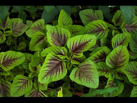 Introduce Amaranth and how to grow