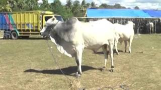 Kontes Kejantanan Sapi Ongole di Sumba, NTT